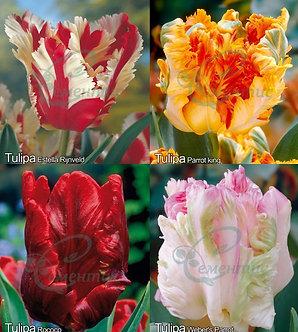 Tulip Parrot Mix2
