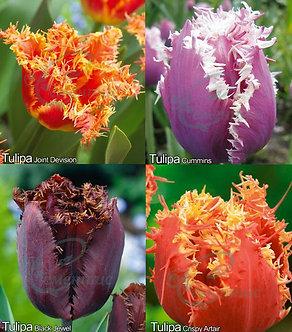 Tulip Fringed Mix1