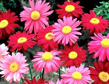 Хризантема Розова 0,5 гр.