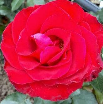 Катерлива Червена роза