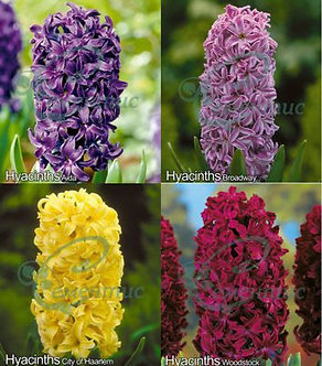 Hyacinthus Mix1