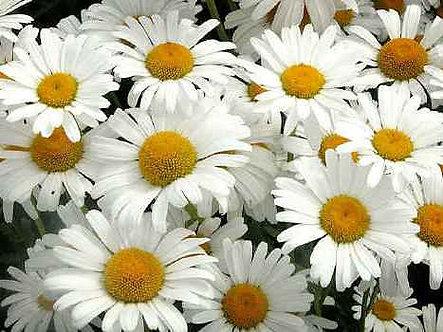 Хризантема Бяла 0,5 гр.