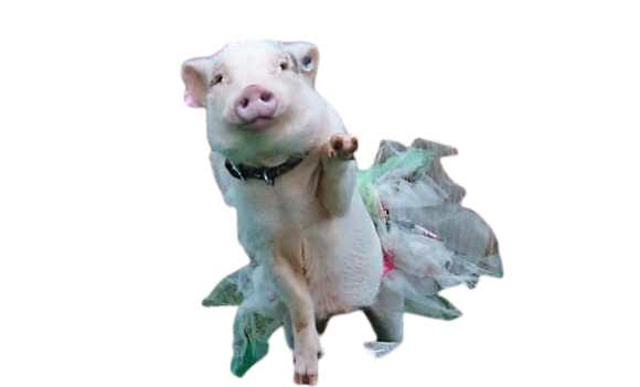Rosie The Pig