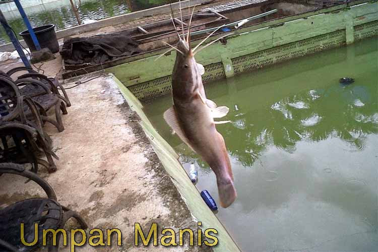 4 Umpan Jitu Memancing Ikan Lele Saat Di Galatama Maupun Harian