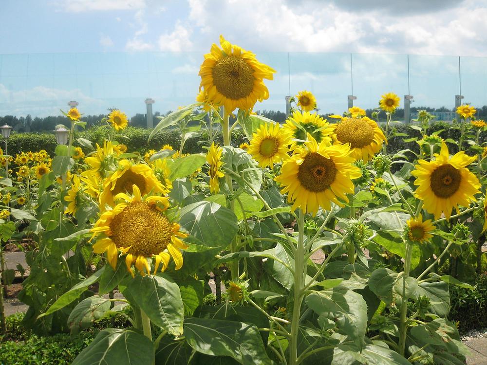 Sunflower garden Changi