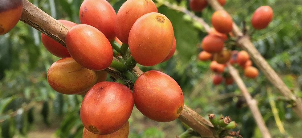 COLOMBIA_PINK_berries_980.jpg