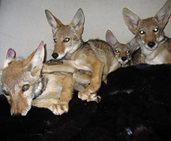 ffawc-coyote-pups-270x224