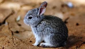 Conejo Zacatuche
