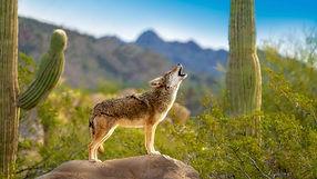 coyote mexicano.jpg