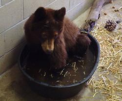 ffawc-bear-cub-1