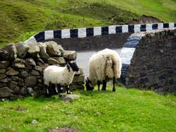 Sheep's crossing