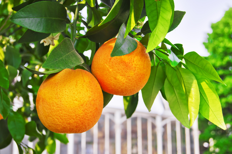 Orangen in Sizilien