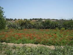 Mohnfeld Sizilien