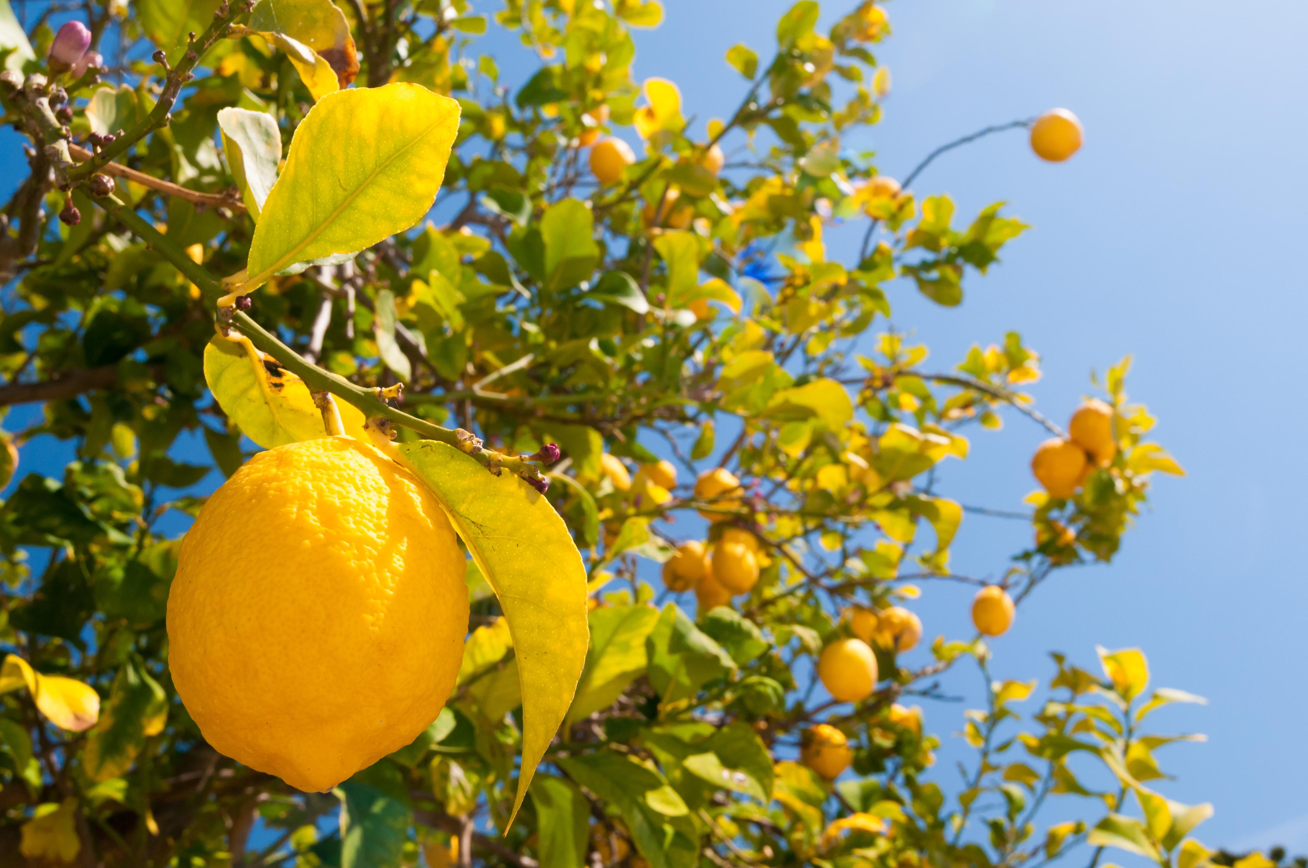 Zitronen in Sizilien