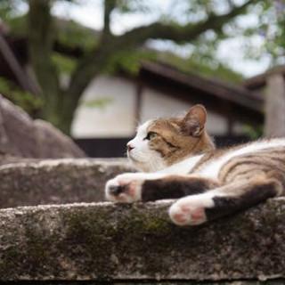 妻籠村の地域猫