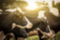 日の出の牛
