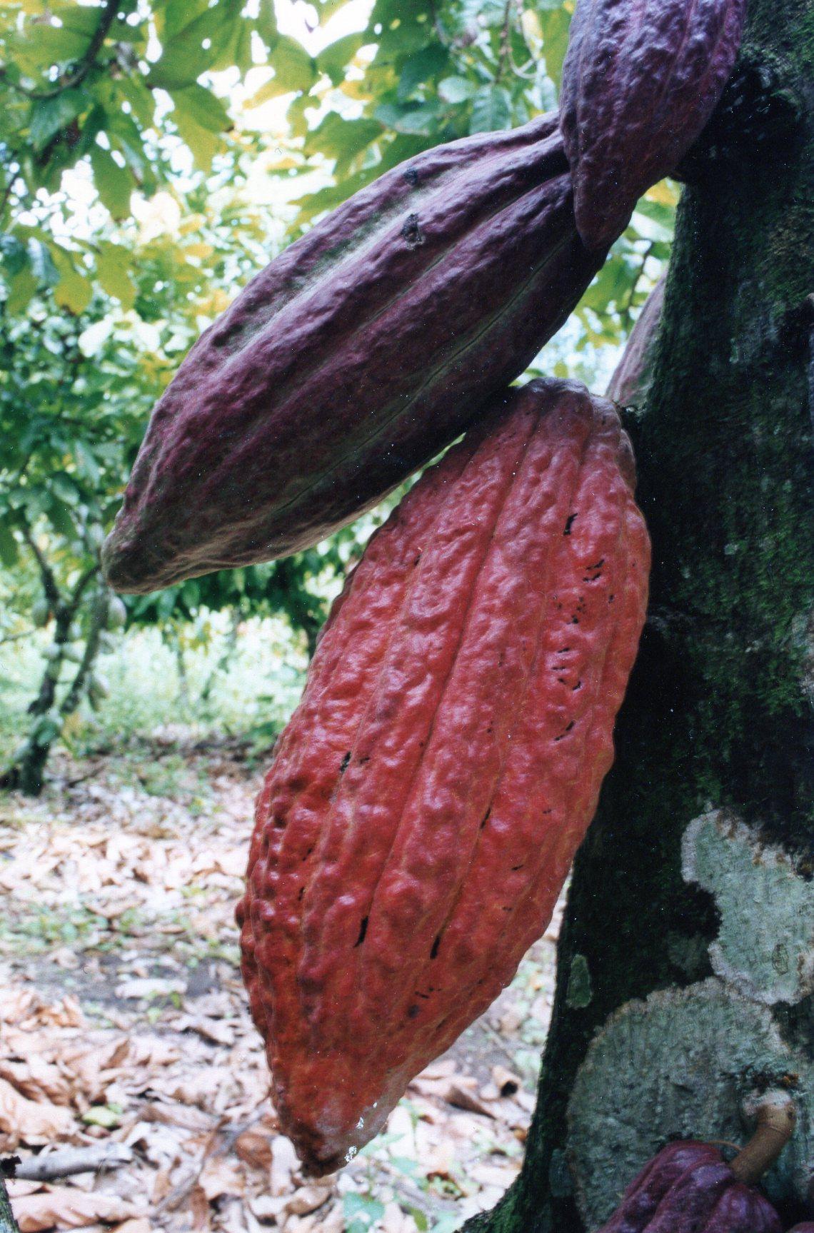 Cacao 002