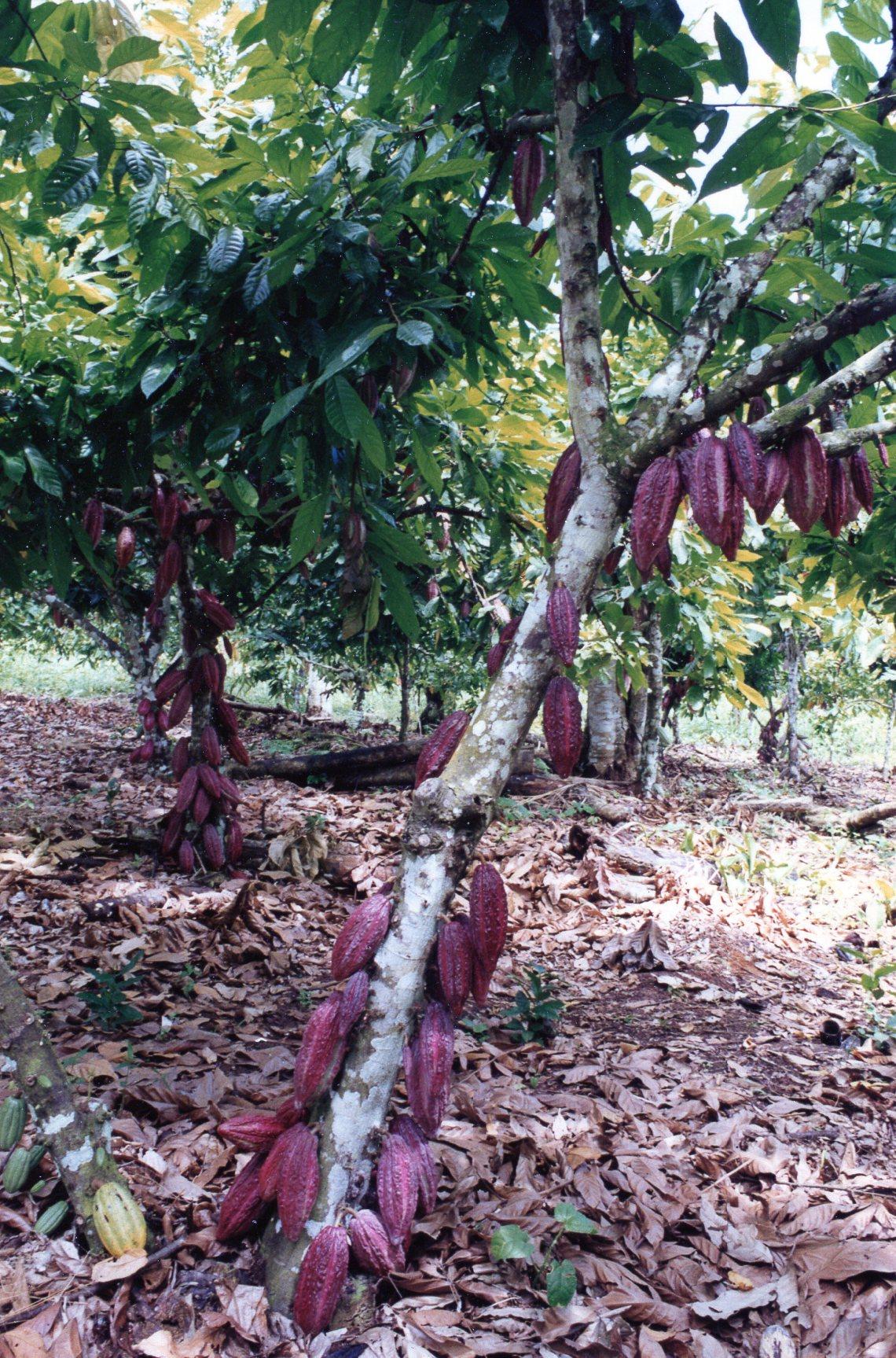 Cacao - BK Matlick