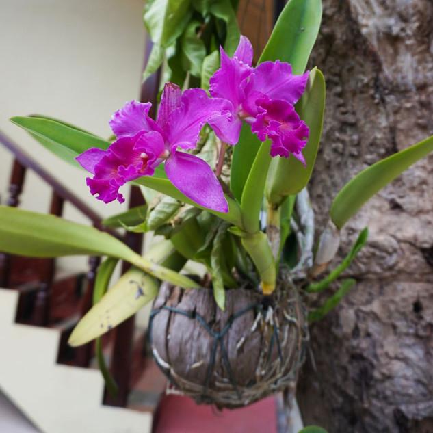 Орхидеи, Лаос