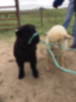 Petting Zoo Sheep