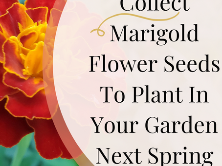 How To Collect Marigold Flower Seeds To Plant In Your Garden Next Spring