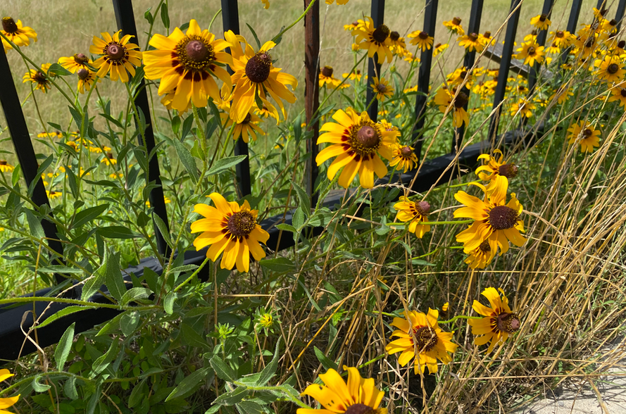 Celina-Texas-Sunflowers.png