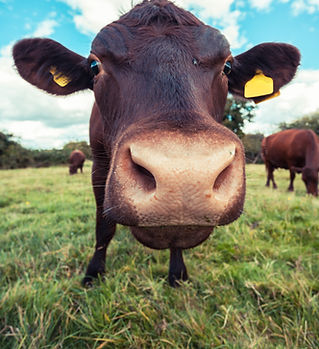 A Celina, Texas farm animal looking at the camera.