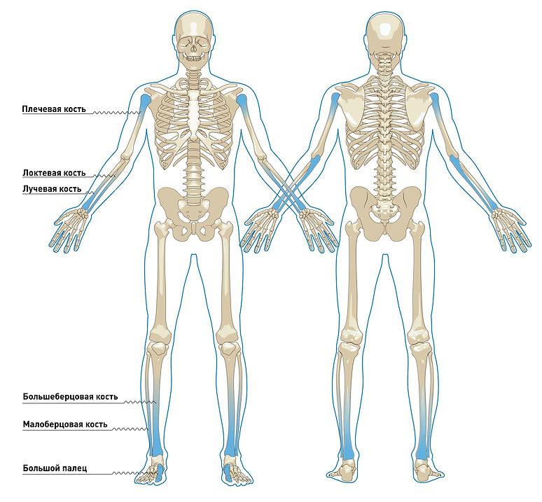 Скелет.jpg