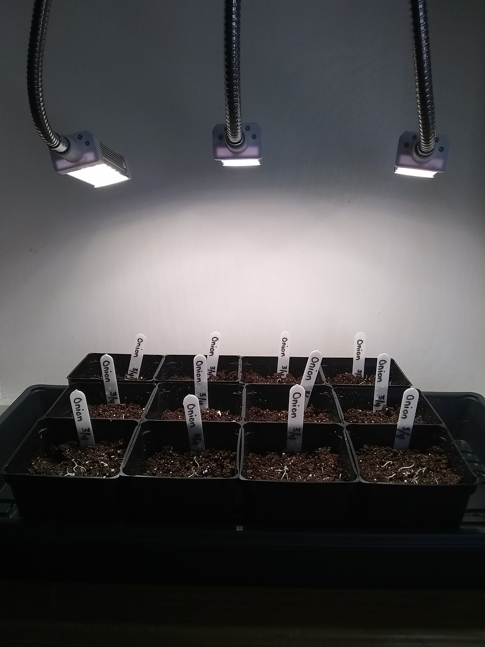 Onion seedlings in their seed tray underneath LED grow lights