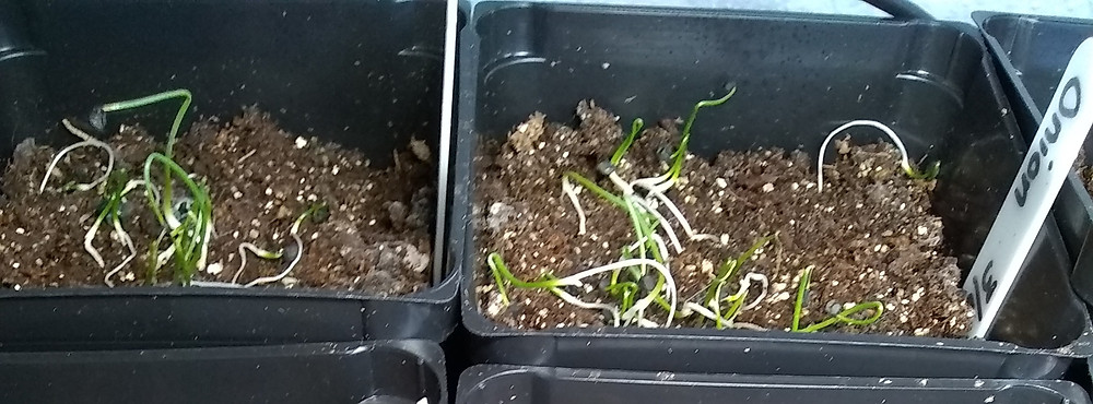 Two pots of onion seedlings