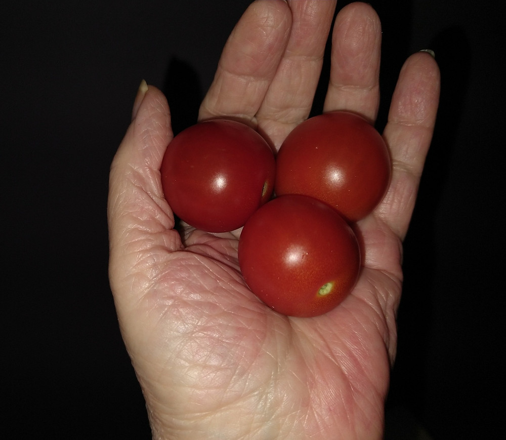 Hand holding three cherry tomatoes to show how big they are