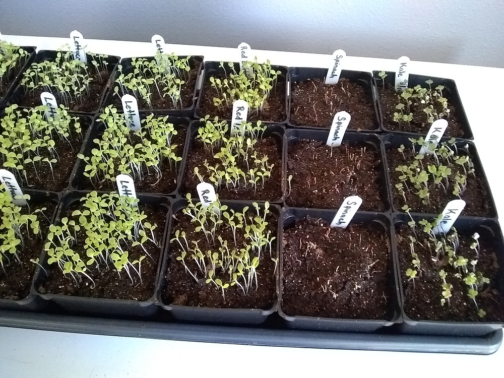 Seed tray with potted lettuce, red lettuce, spinach, and kale seedlings.