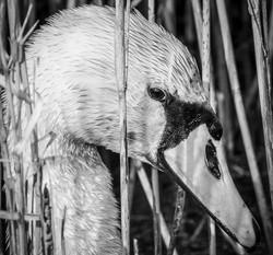 Swan in Reeds B&W