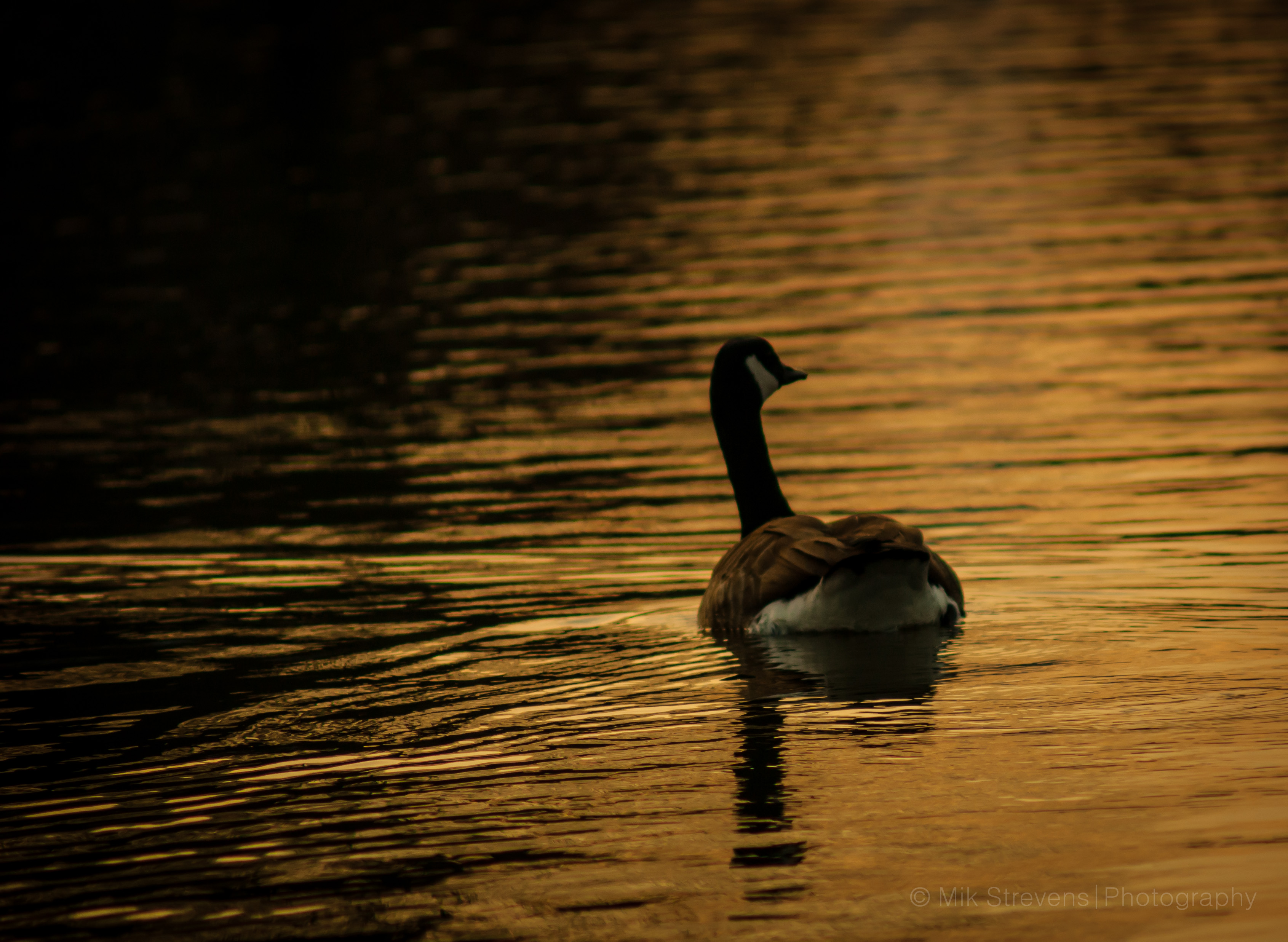 Sunset Canada Goose