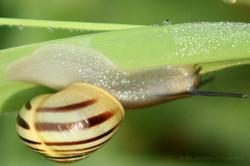 White Lipped Snail