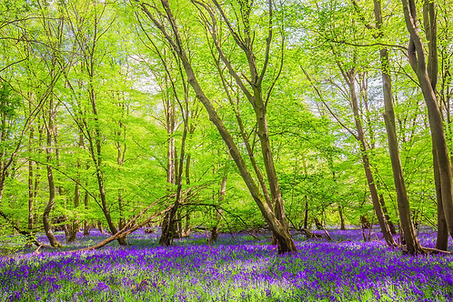 Bluebell Woods 1
