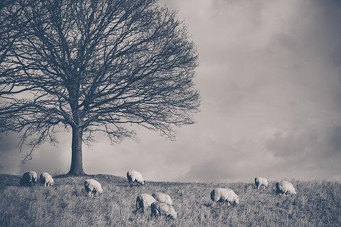Sheep Grazing under Tree