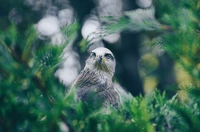 Grauer Falke