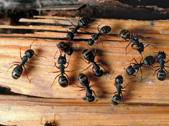 Ant Infestations