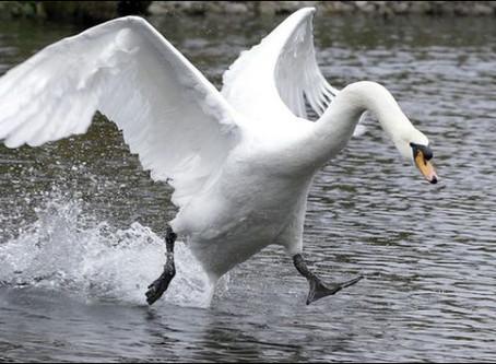 When a swan broke my arm...