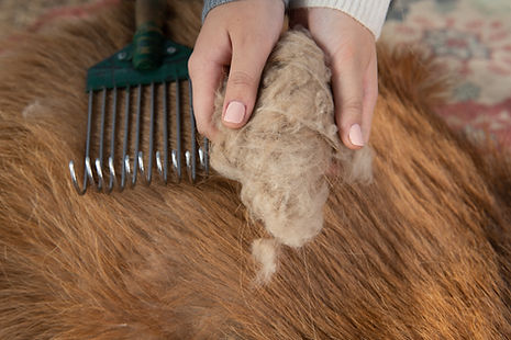 Combing cashmere from a goat.jpg