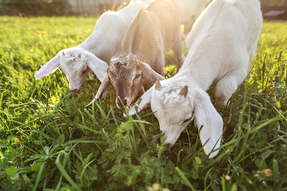 Three goat kids grazing on meadow, wide