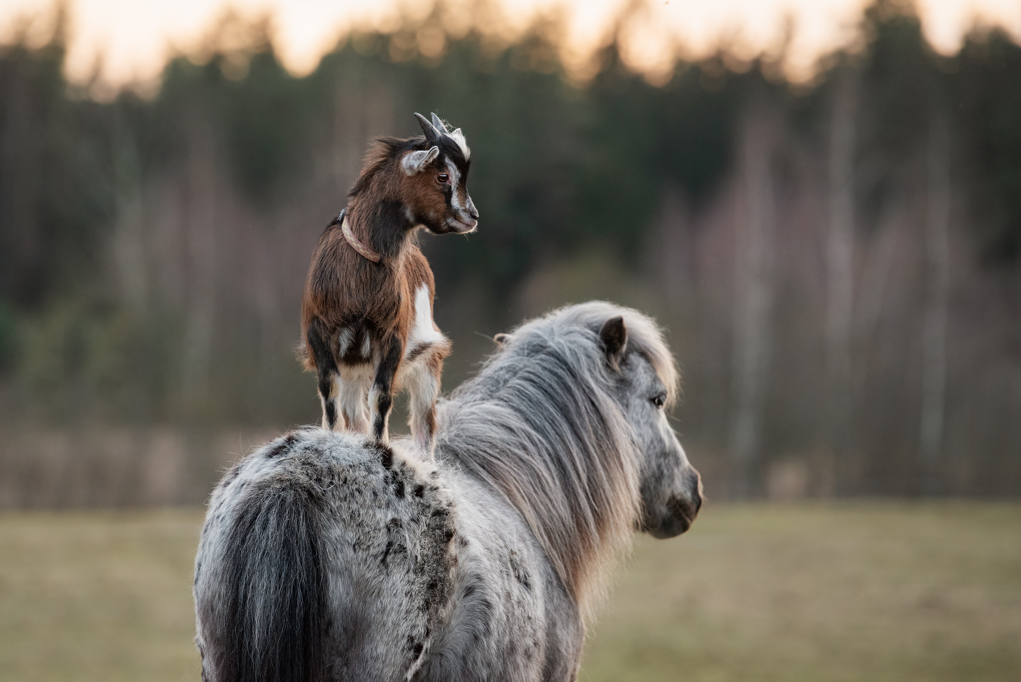 Little goat stands on the back of a pony