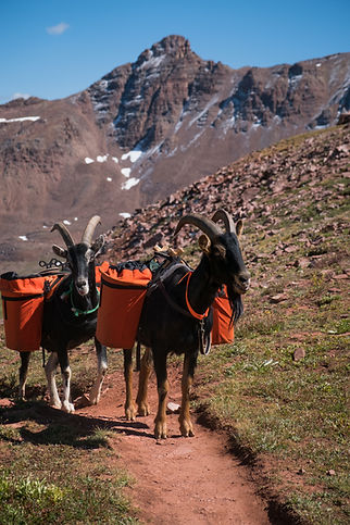 A pair of pack goats carry cargo for a g