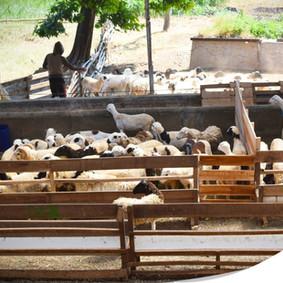 Sheeps in Malaysia