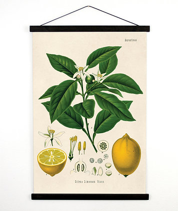 Lemon Pull Down Chart - Citrus Tree Botanical Reproduction Print. Educational Ch