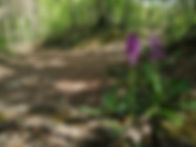 Orchidée Durbuy balade nature forêt