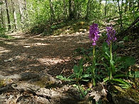 Orchidée Durbuy balade nature forêt