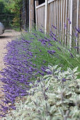 Lavender in front of the veranda