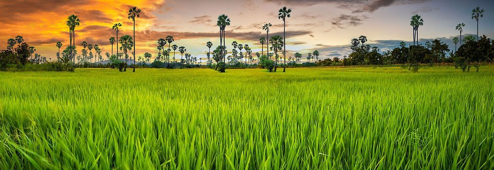panorama-landscape-young-green-rice-fiel